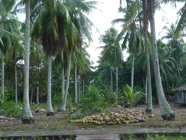 Coconut Trees at Teluk Lanus